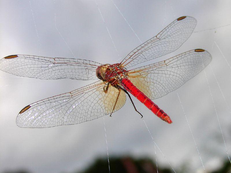 Dragon_fly